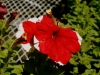 Specialized Petunias