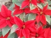 Traditional Poinsettia